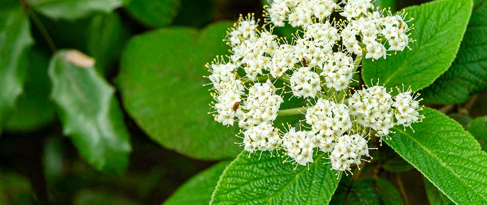 Viburnum flowers in bloom near East Greenville, PA.